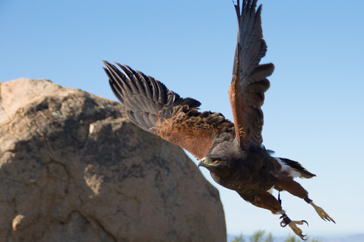 sky_falconry_photo_hawk_walk_san_diego-10