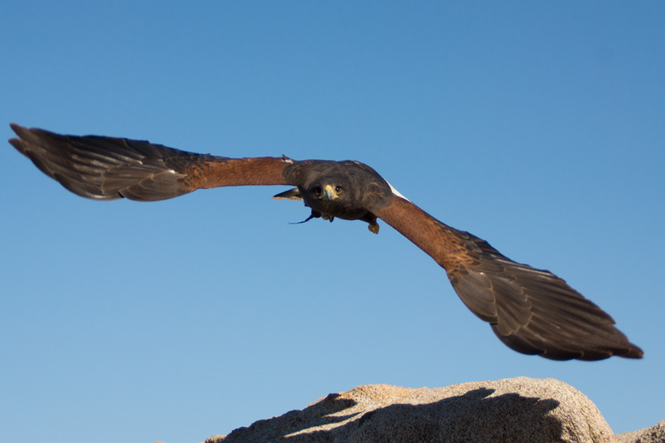 sky_falconry_photo_hawk_walk_san_diego-11