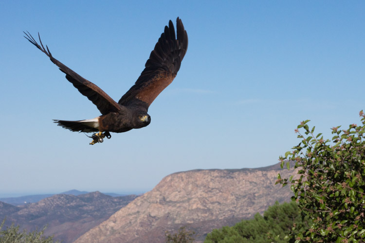 sky_falconry_photo_hawk_walk_san_diego-7