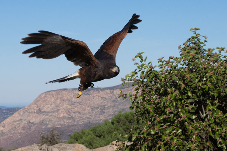 sky_falconry_photo_hawk_walk_san_diego-8