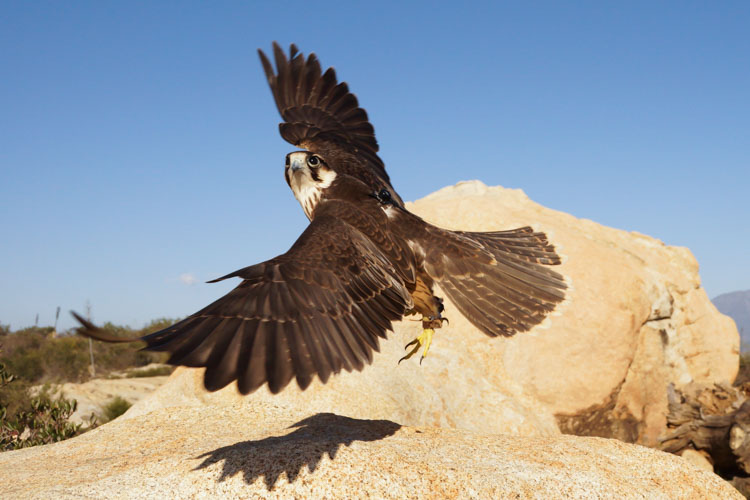 sky_falconry_private_experience_san_diego-1