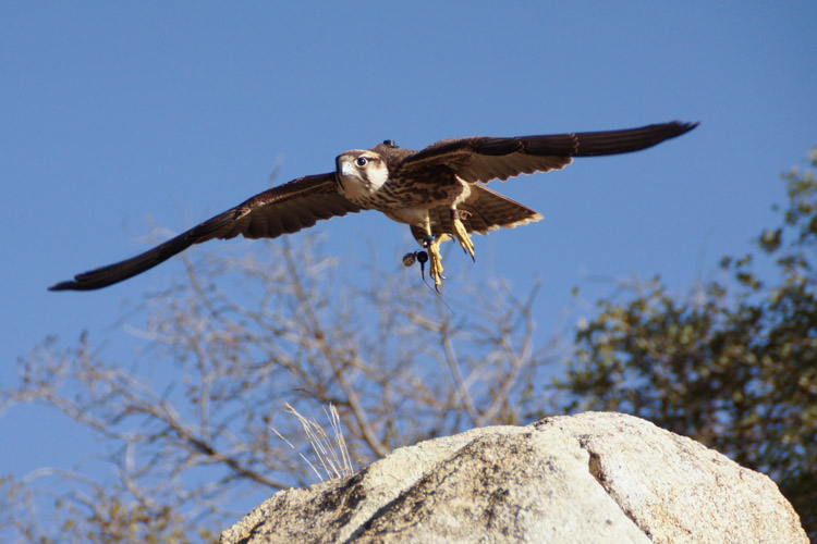 sky_falconry_private_experience_san_diego-4