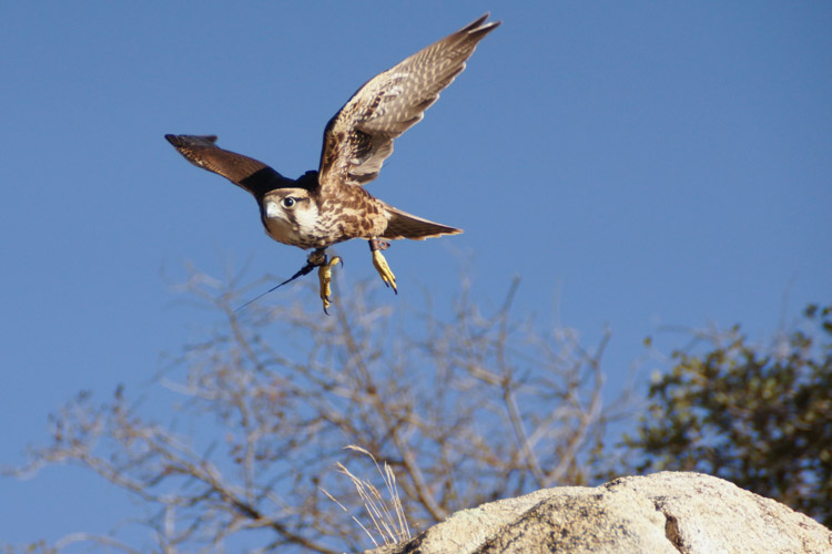sky_falconry_private_experience_san_diego-5