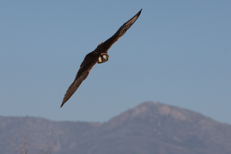 sky_falconry_private_experience_san_diego-6