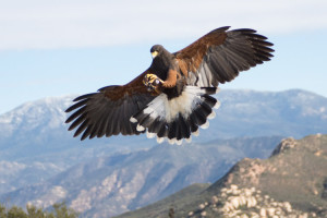 sky_falconry_basic_lesson_alpine-15