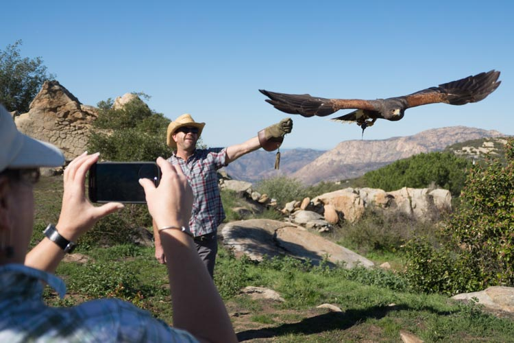 sky_falconry_hawk_walk_san_diego-12