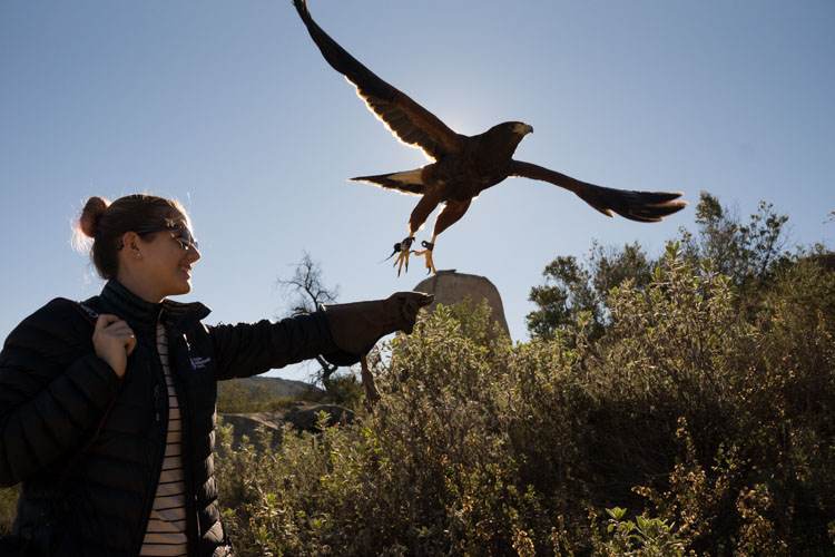 sky_falconry_hawk_walk_san_diego-15