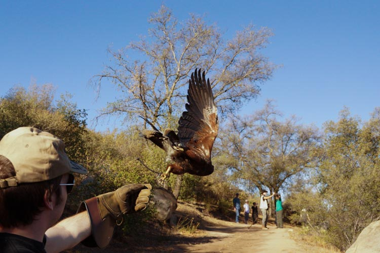 sky_falconry_hawk_walk_san_diego-6